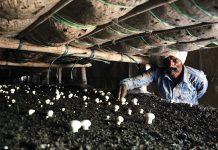 peluang usaha jamur merang