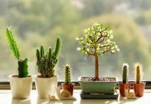 peluang usaha kaktus hias